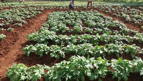Potato seeds farming kenya 696x432